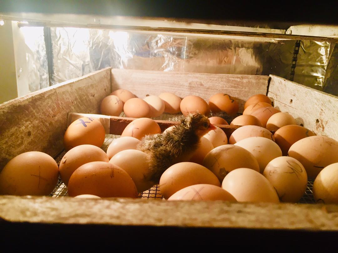 Nord-Kivu : La société SATEC se dote d'un incubateur automatique des œufs